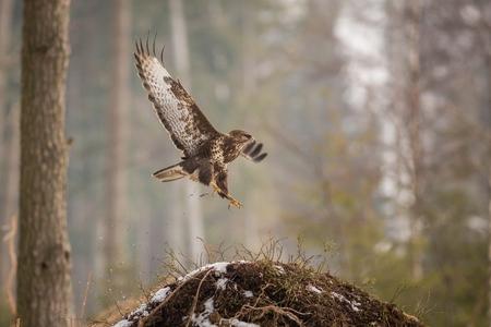 Wildlife scene from snowy nature. Flying Buzzard, winter background, flying predator, predator on the prowl, brown bird with a hooked beak, Europe, czech republic, moravia