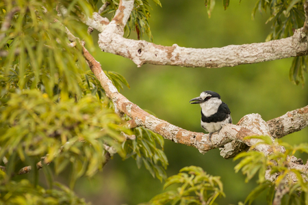 White-necked puffbird in the tree, bird in the branch, black and white bird, south america, ecuador. Wildlife scene from nature.  Animal in the nature habitat.