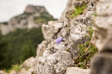Purple flower on white rock europe purple flowers with blurred purple flower on white rock europe purple flowers with blurred mountain peaks and cloudy mightylinksfo