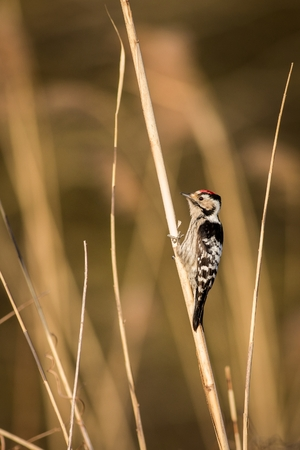 A cute Downy Woodpecker clings to a single Phragmite reed in a field of out of focus brown reeds. Downy Woodpecker (Picoides Pubescens) male stands out among three swamp reeds