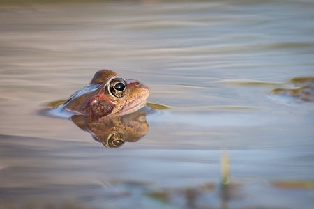 Common Brown frog and eggs in spring. Wildlife scene from nature.  Animal in the nature habitat. Common frogs (Rana temporaria) in water on a beautiful background.