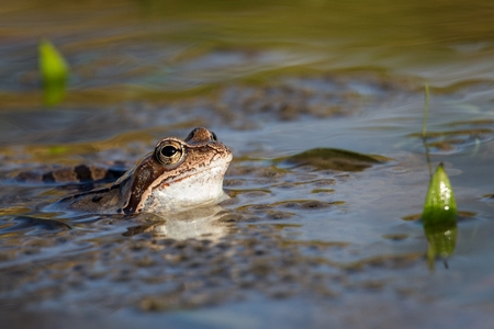 Common Brown frog and eggs in spring. Wildlife scene from nature.  Animal in the nature habitat. Group of common frogs (Rana temporaria) in water on a beautiful background. Stock Photo