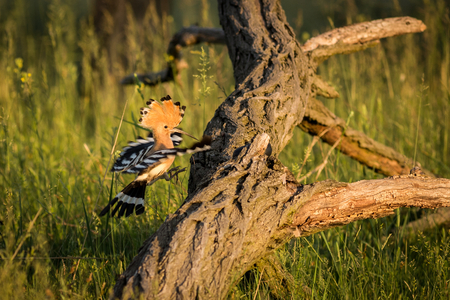 Eurasian Hoopoe or Upupa epops. Beautiful brown bird in flight entering the nest. Wildlife scene from nature.  Animal in the nature habitat.