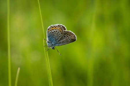 Blue butterfly perched on a stalk of grass. Common blue butterfly (Polyommatus icarus) on flower. Blue butterfly on flower. 版權商用圖片