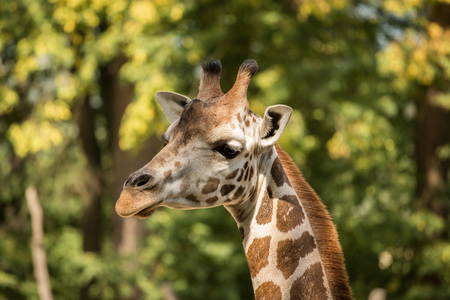 Portrait of Rothschild's giraffe, hidden in green trees. Forest vegetation with big animal. Head on the long neck. Stok Fotoğraf