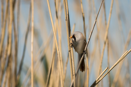 Male Bearded Reedling (Panurus biarmicus) captured close-up perched on a stalk of the reed enlightened by evening sun. Wildlife scene from nature.  Animal in the nature habitat. Stock Photo