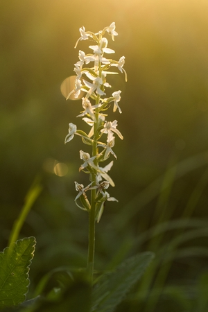 Lesser Butterfly-orchid. (Platanthera bifolia) Flowering European terrestrial wild orchid in nature habitat. Imagens