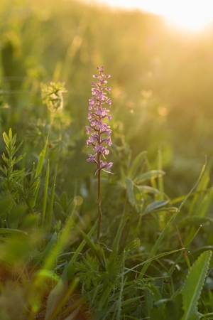 Orchid with dragonfly, Common Fragrant Orchid, (Gymnadenia conopsea) flowering European terrestrial wild orchid in nature habitat. Summer Orchid