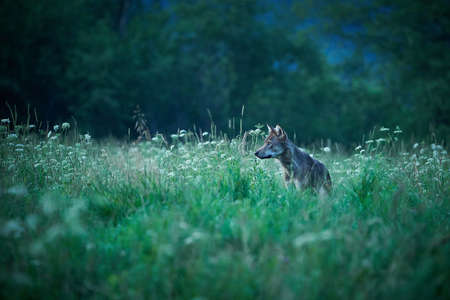 Wolf - Canis lupus hidden in a meadow at night and in the fog. Wildlife scene from Poland nature. Dangerous animal in nature forest and meadow habitat.