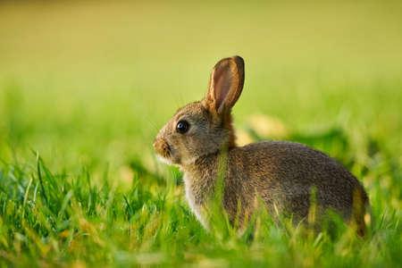 Cute rabbit hidden in the grass. Wildlife scene from nature. Animal in the nature habitat, life on the meadow. Standard-Bild