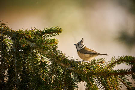 Crested Tit (Lophophanes cristatus) sitting on beautiful spruce branch. Detail portrait of songbird with crest