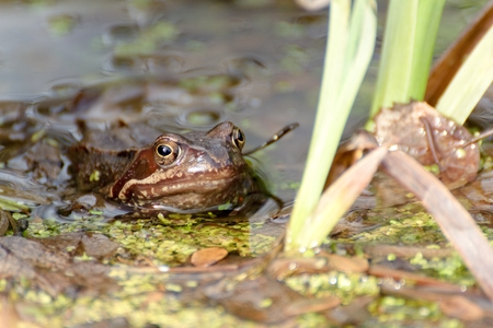 common hop: european common brown frog Stock Photo