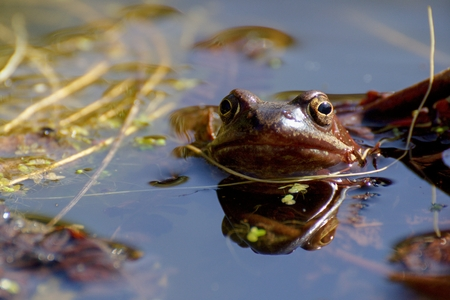 grey eyed: european common brown frog Stock Photo