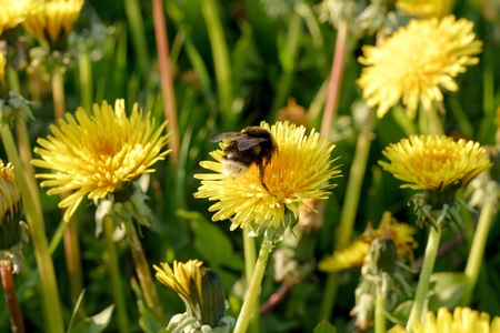 A bumblebee on a dandelion on a meadow
