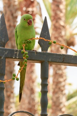 Green parrot in Fuerteventura, Canary Islands Stock Photo