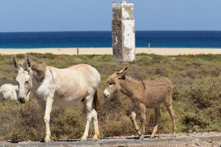 Donkeys near the beach in Morro Jable, Fuerteventura- Canary Islands