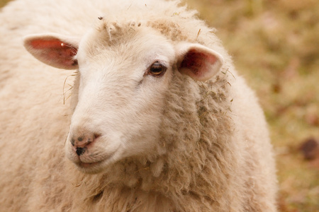 Sheep Portrait, close up of head sheep in rural farm