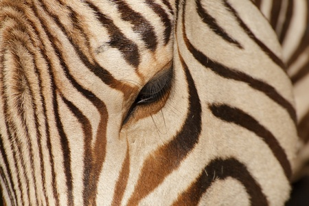 Close-up view of head and eye of zebra Stock Photo