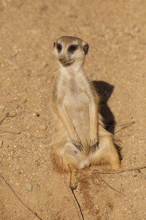 Close up view of meerkat