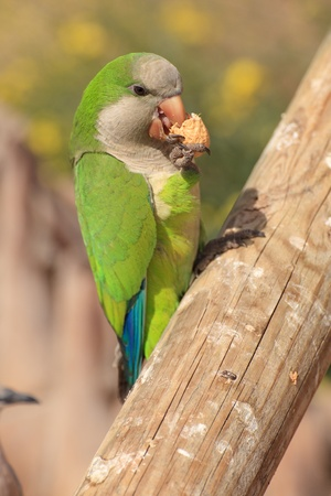 The monk parakeet (Myiopsitta monachus) in Fuerteventura, Canary Islands Stock Photo - 102990704