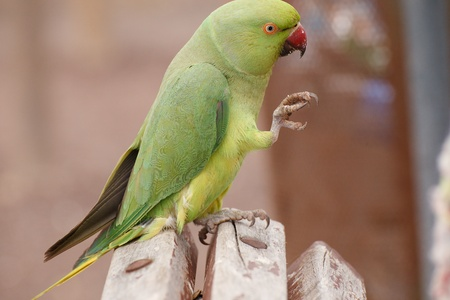The monk parakeet (Myiopsitta monachus) in Fuerteventura, Canary Islands