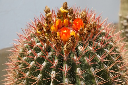 A closeup view of a flowering cactus