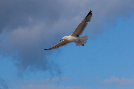Flying Seagull on the beach, Fuerteventura- Canary Islands