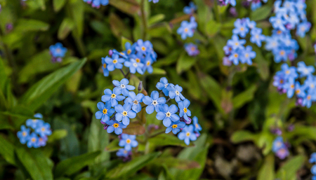 A small cluster of Forget Me Not flowers in the garden
