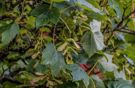 The branches and fruit of the sycamore tree