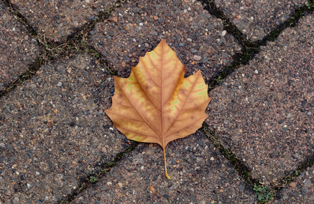 The single light brown leaf on the paved pathway Reklamní fotografie
