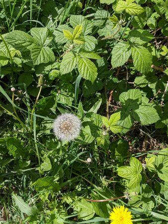 green leaves and a dandelion flower and head 版權商用圖片