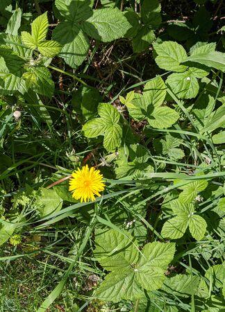 a single yellow dandelion flower with green leaves 版權商用圖片