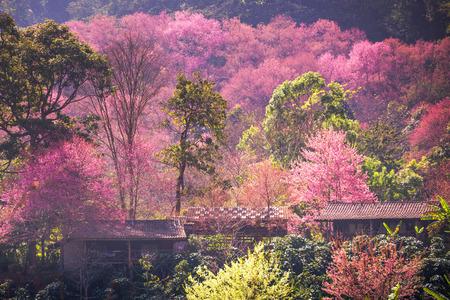 쿤 장 키안, 치앙마이, 태국에서 사쿠라의 집