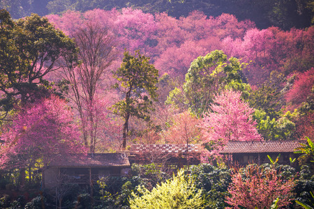 house of sakura at khun chang kian , Chiangmai , Thailand 版權商用圖片