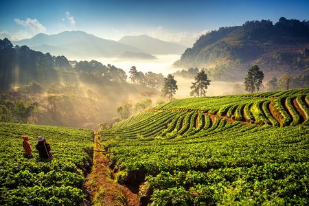 doi: Alba al campo di fragole a doi angkang, Chiang Mai, Thailandia.