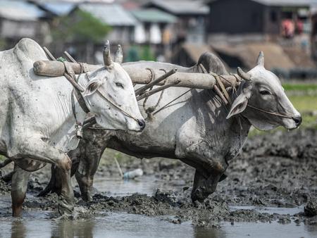 buey: Myanmar hermoso