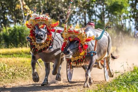 Mekepung, traditional Balinese bull race.