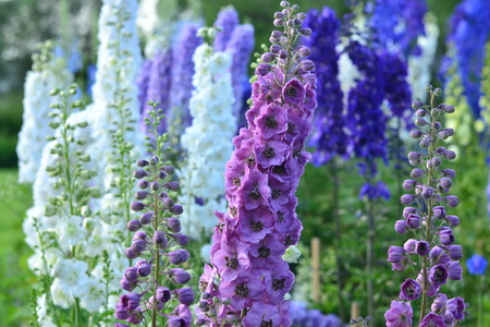 Many colorful Delphinium flowers in summer garden