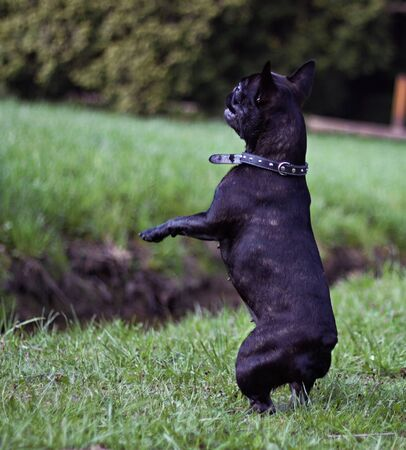 Black french bulldog in Park. Theme animals, dogs, outdoors, sitting, watching, cute, playing 版權商用圖片