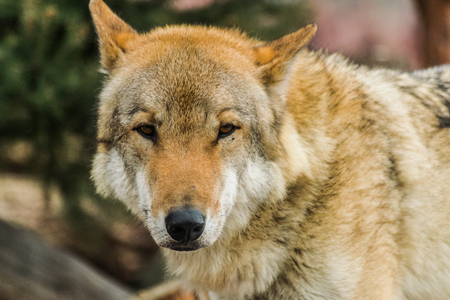 Gray wolf face looking at you