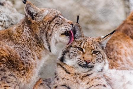 Twee Euraziatische lynxen die samen rusten, een van hen die met tong schoonmaken Stockfoto