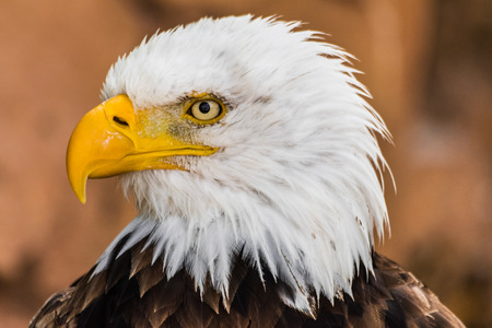 Bald eagle (Haliaeetus leucocephalus) head portrait looking to the left