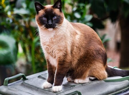 Siamese tricolor cat sitting on waste bin looking very friendly