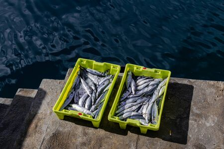 Atlantic mackerel (Scomber scombrus) in a yellow plastic box in a port close to the water 写真素材