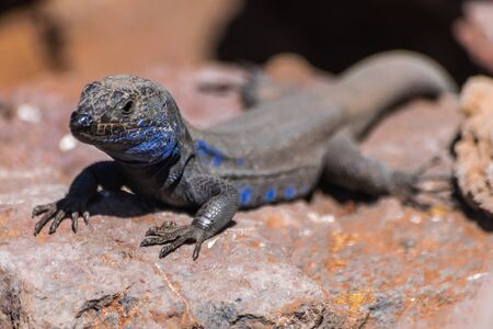 La Palma endemic lizard portrait with rocky background (Gallotia Galloti Palmae) Canary islands, Spain