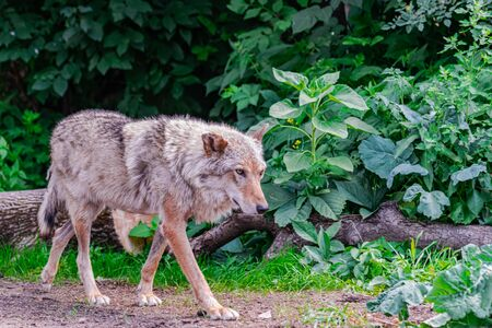 Gray Wolf (Canis Lupus), walking to the right among vegetation Фото со стока