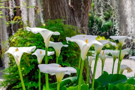White Calla Lily (Zantedeschia aethiopica), group blooming with vegetation background