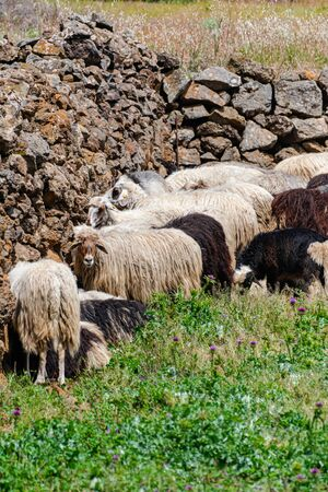 Canary sheep herd, on green grass field, with rock wall background, El Hierro island landscape, Canary islands, Spain