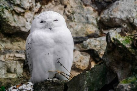 snowy owl (Bubo scandiacus) sitting and looking at you