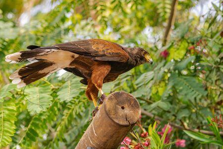 Harris's hawk (Parabuteo unicinctus), on a wooden log, with locator antenna on tail